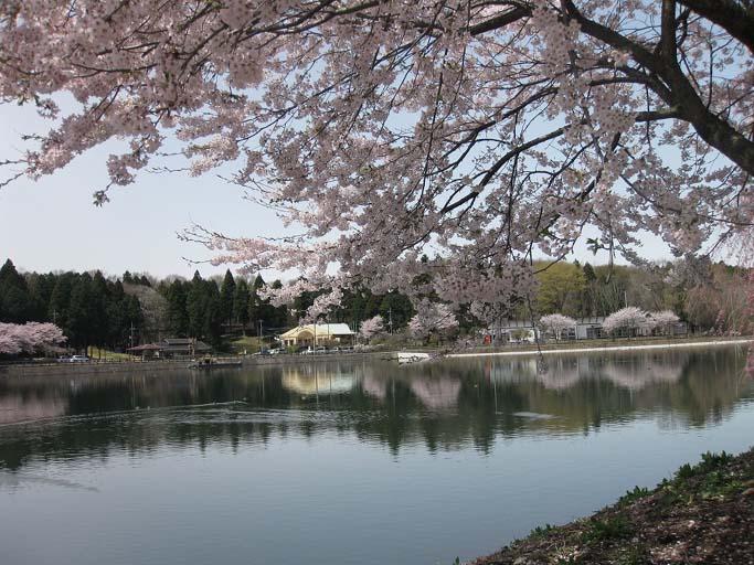 唐桶溜・桜(芳賀町 東水沼)