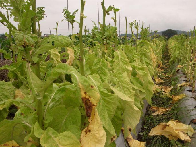 葉タバコの収穫(益子町 大郷戸)