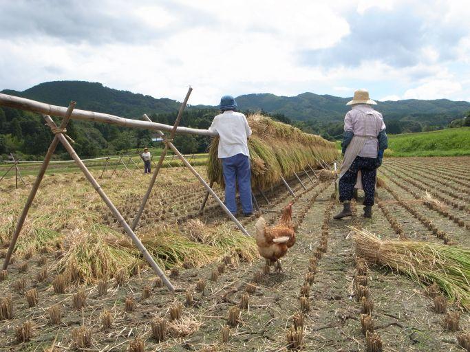 棚田の収穫(茂木町 深沢)