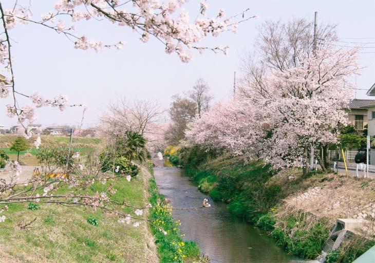 豊穂川の桜 [穂積地区](小山市 大行寺)