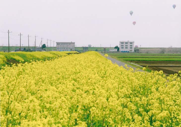 菜の花と与良川排水機場(小山市 白鳥)