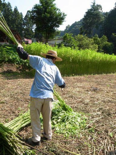 麻の収穫(佐野市 仙波町)