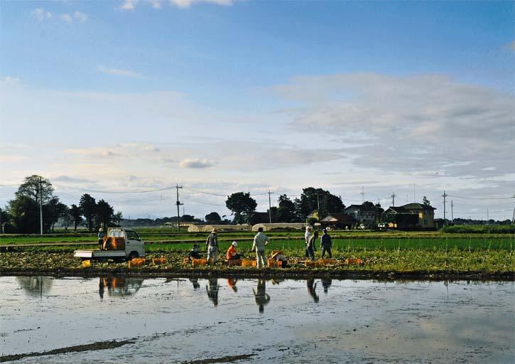 玉ねぎの収穫に勤しむ人達(下野市 仁良川)