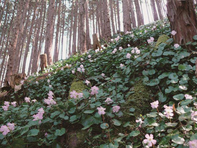 富山のイワウチワ