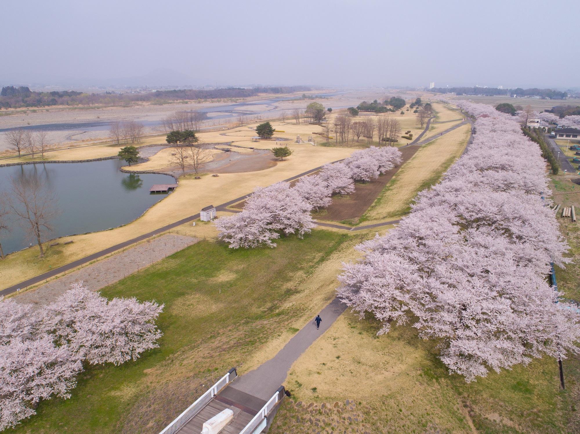 氏家ゆうゆうパークの桜