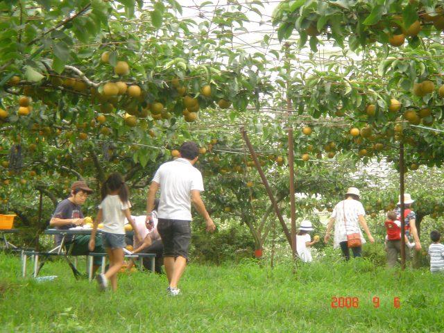 梨狩り・金田果樹園