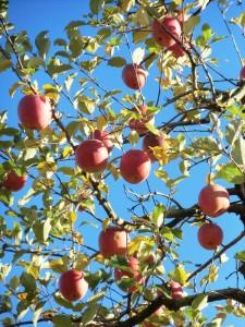 りんご(たわわ)