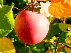 りんご(拡大)