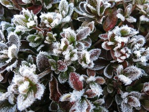 霜が付いて花のように見えるツツジ