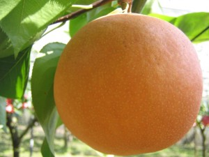 栃木県育成梨品種にっこり