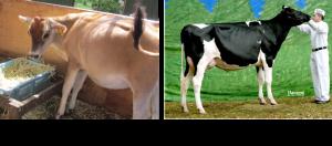 ジャージー牛とホルスタイン