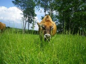 09_勢いよく草を食む