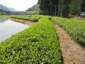鹿沼の茶畑の風景