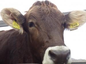 こんにちはブラウンスイス牛です。鼻のまわりだけ白いんです。