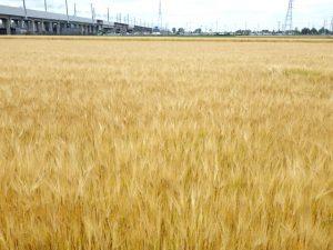 麦秋の季節に麦を味わう。ブーランジュリ・ア・ランシェンヌ(宇都宮市)