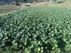 鹿沼菜栽培の様子