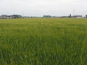 二条大麦の畑