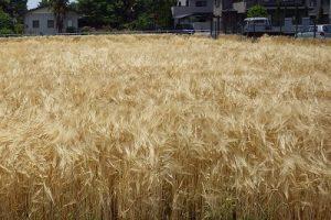 麦秋の麦畑