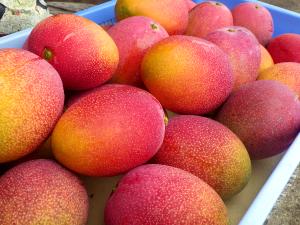 収穫したマンゴー