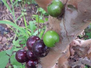 緑のジャボチカバ