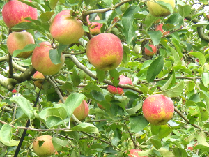 りんご鈴なり